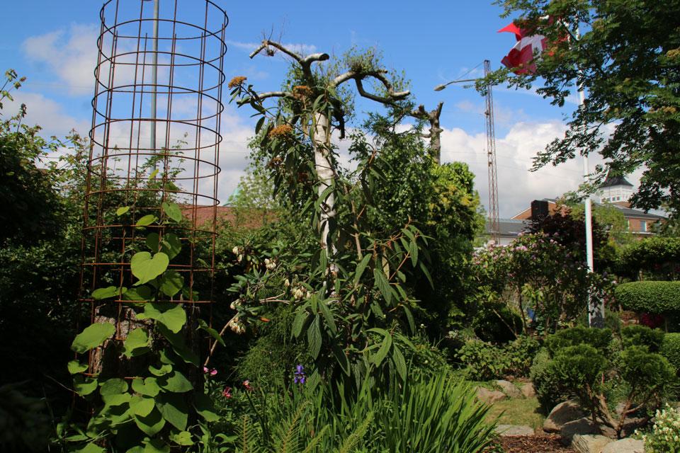 Стволы старых деревьев - опора для вьющихся растений. Сад Сусанне Расмуссен