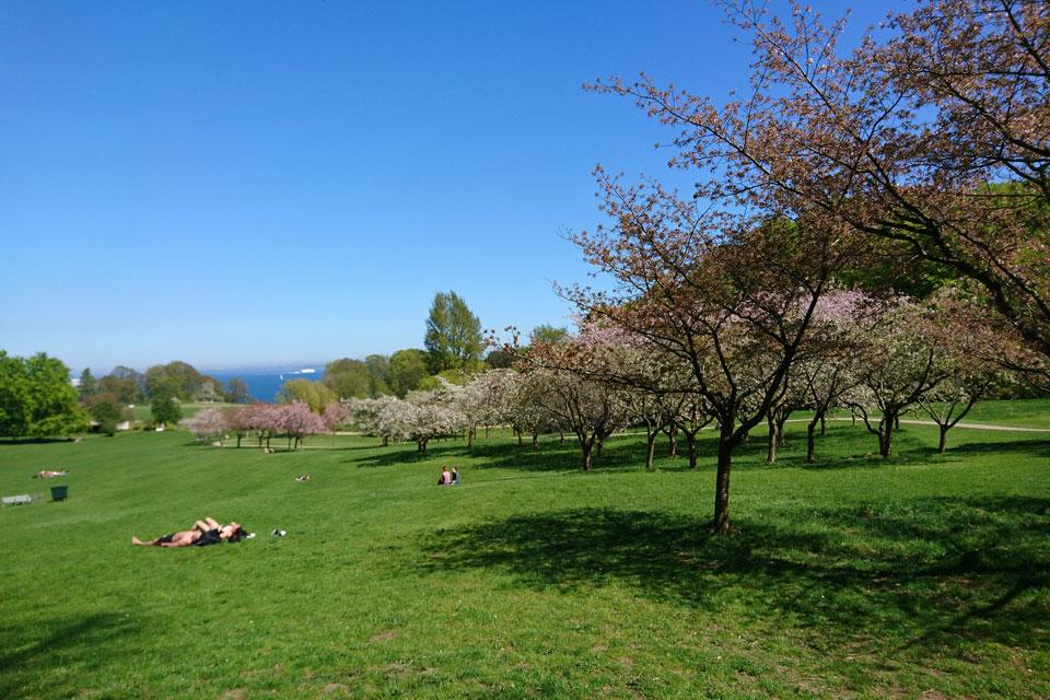 Сакуры в Мемориальном парке Орхус Дания
