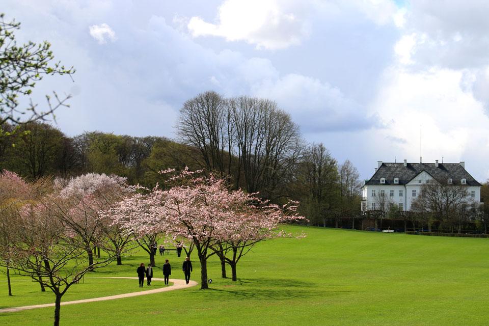 Сакуры в Мемориальном парке города Орхус