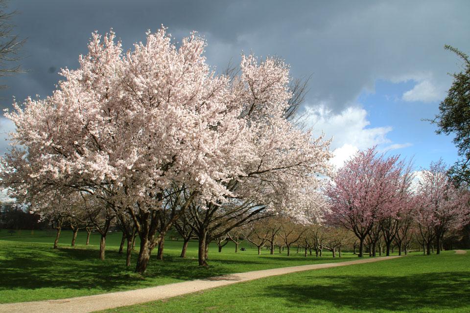 Цветущие сакуры в Мемориальном парке города Орхус