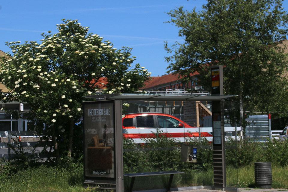 Дерево черной бузины около остановки