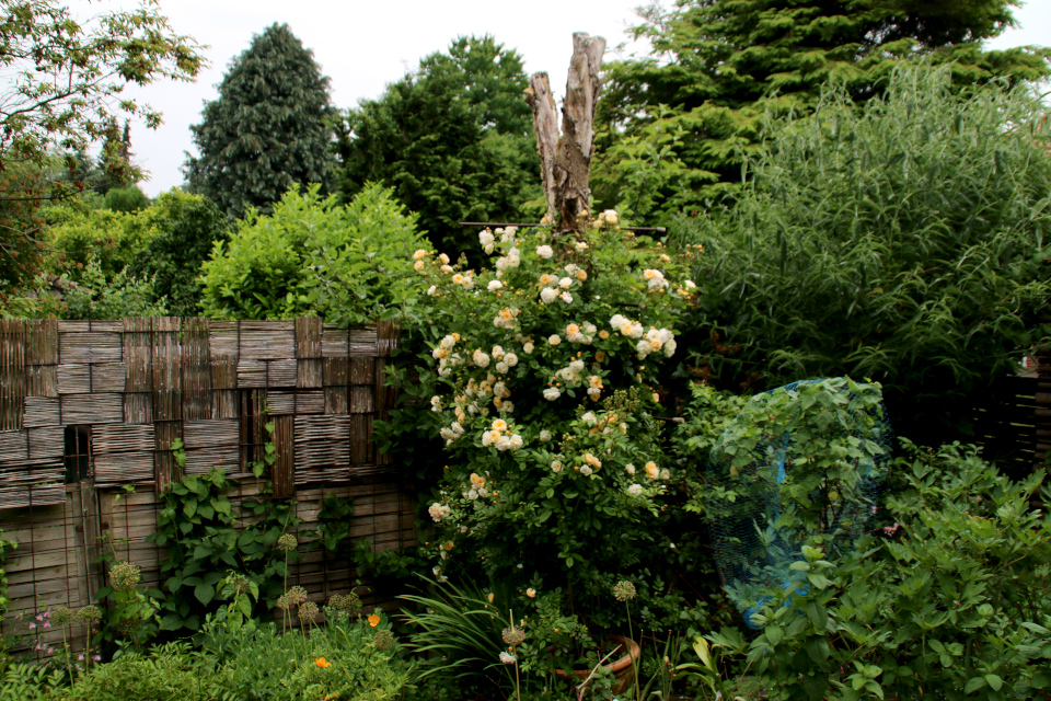 Опора для плетистой розы в виде ствола старого дерева