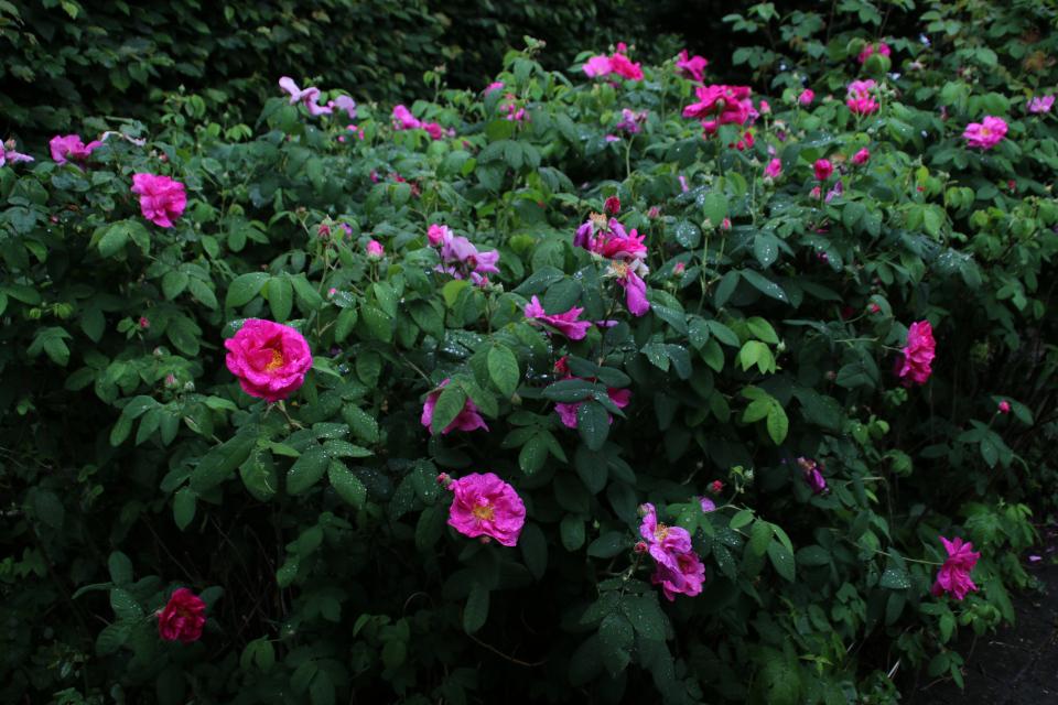 Цветущий розовый куст