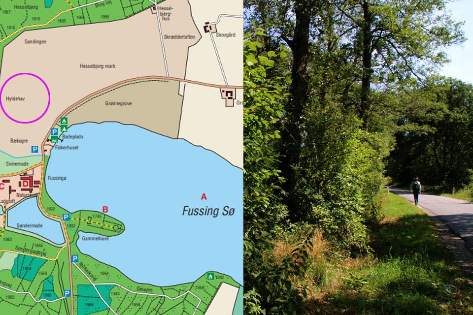 Hyldehav - бузина растет в лесу и вдоль дорог