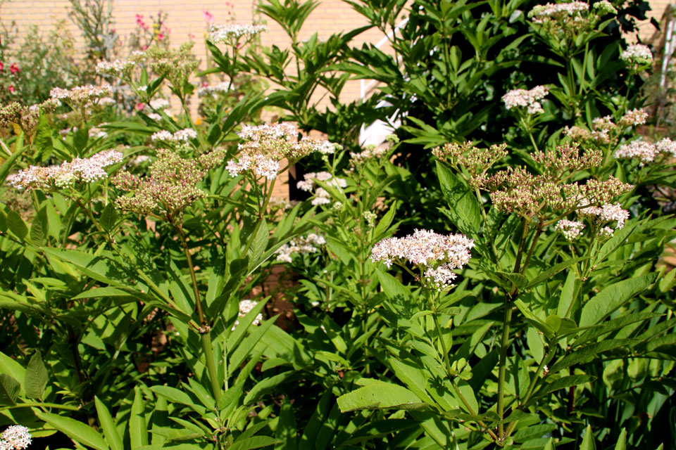 Sambucus ebulus - Бузина травянистая