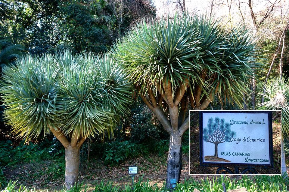 Драконово дерево (Dracaena draco) - эндемик Канарских островов