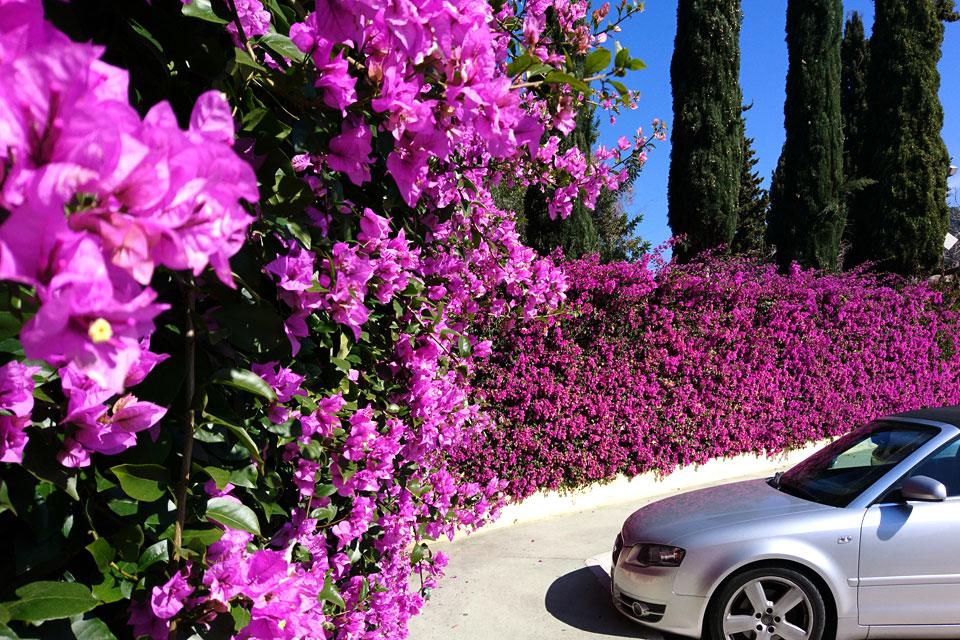 Живая ограда из цветущей бугенвиллии около парковки ботанического сада