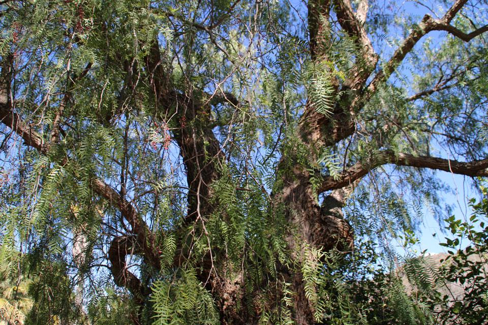 """Дерево Перуанский Перец (Schinus molle) в коллекции """"80 деревьев со всего света"""""""