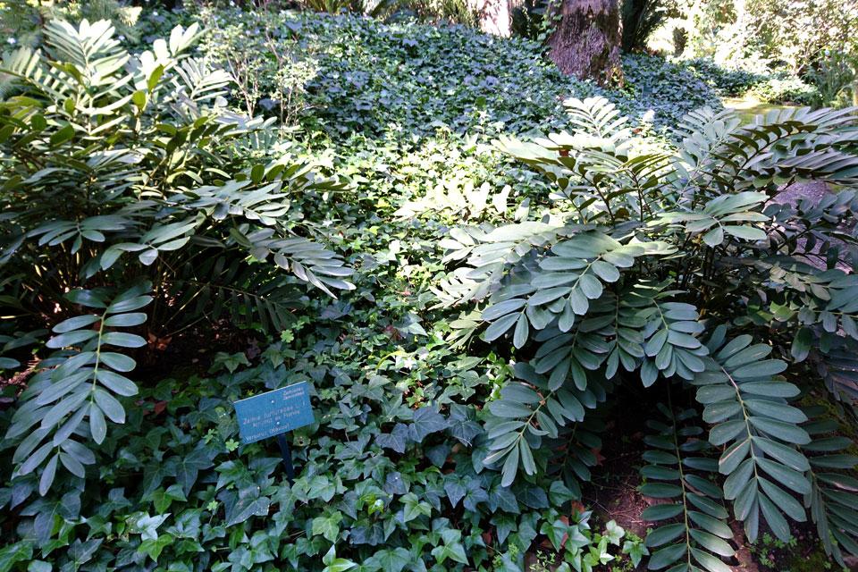 Замия припудренная Zamia furfuracea, Ботанический сад Ла Консепсьон Малага
