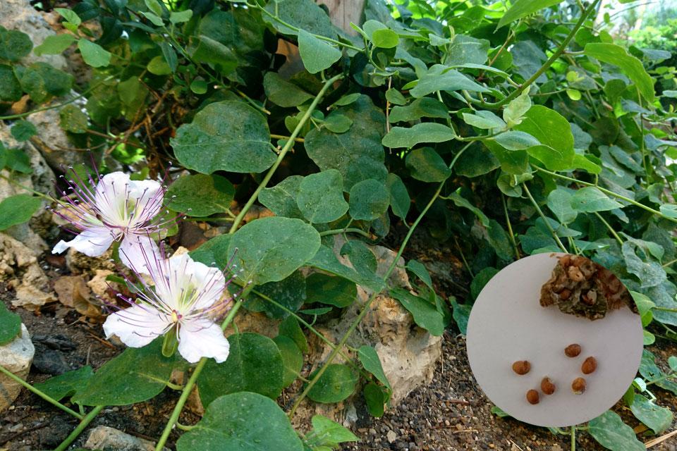Цветки и мелкие семена каперсов