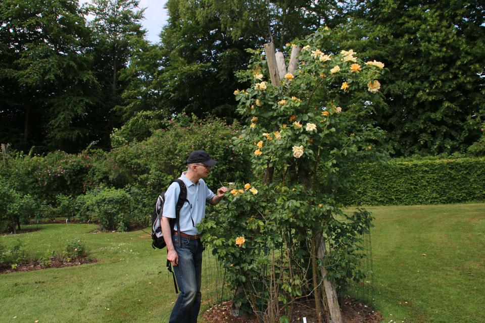 Исторический сорт розы Maigold