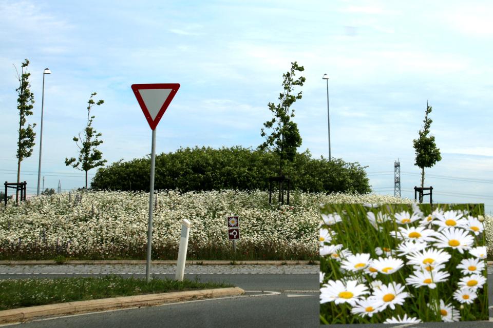 Луговые ромашки, или Нивяник обыкновенный, или Поповник (Leucanthemum vulgare)