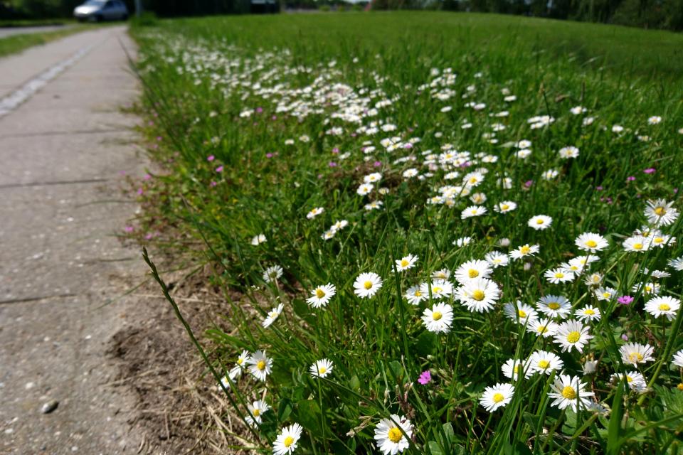 Маргаритки (лат. Bellis perennis) цветут на газоне около дороги