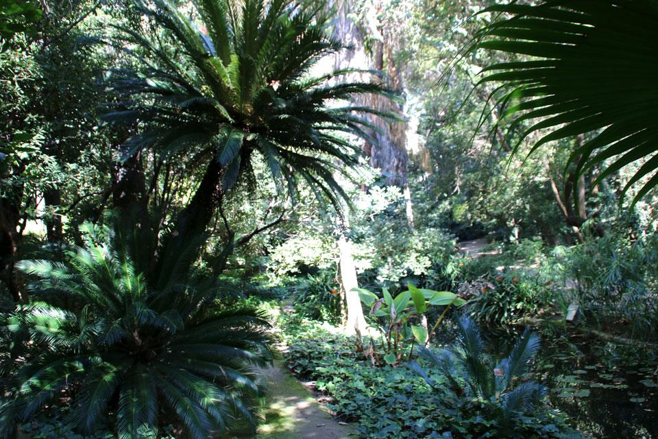 Саговники Cycas, Ботанический сад Ла Консепсьон