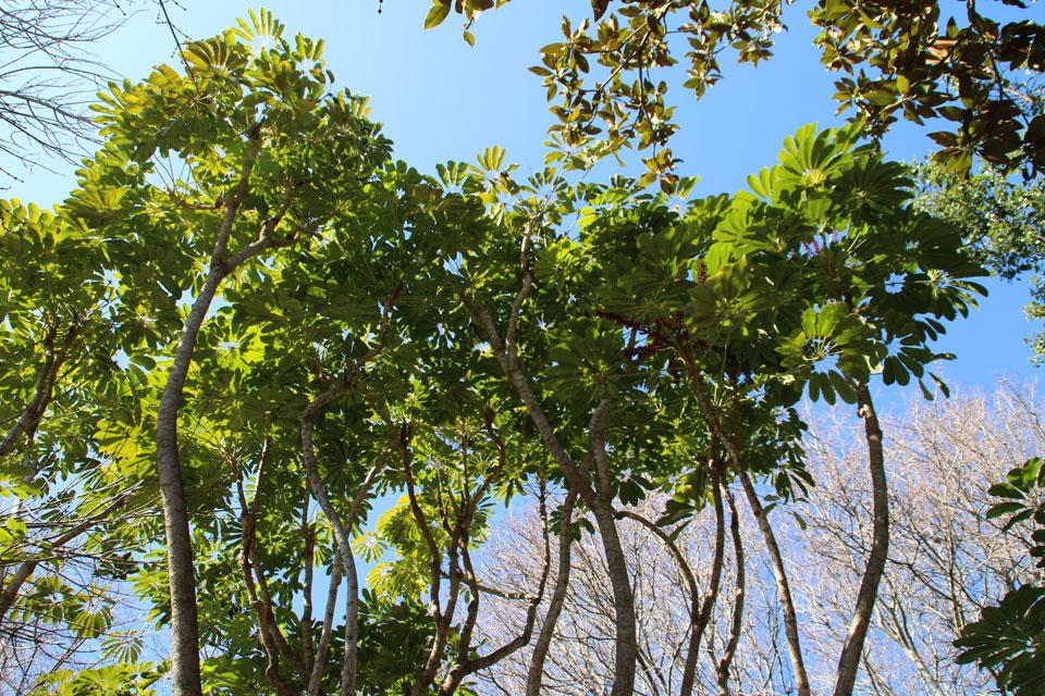 Шеффлера лучелистная, Schefflera actinophylla Ботанический сад Ла Консепсьон Malaga
