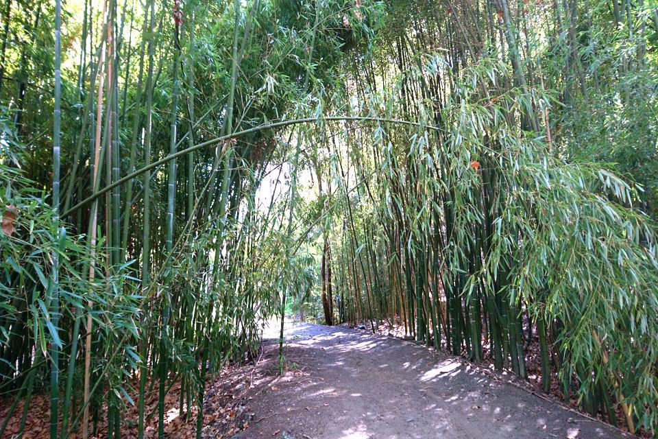 Заросли из бамбука в ботаническом саду Ла Консепсьон