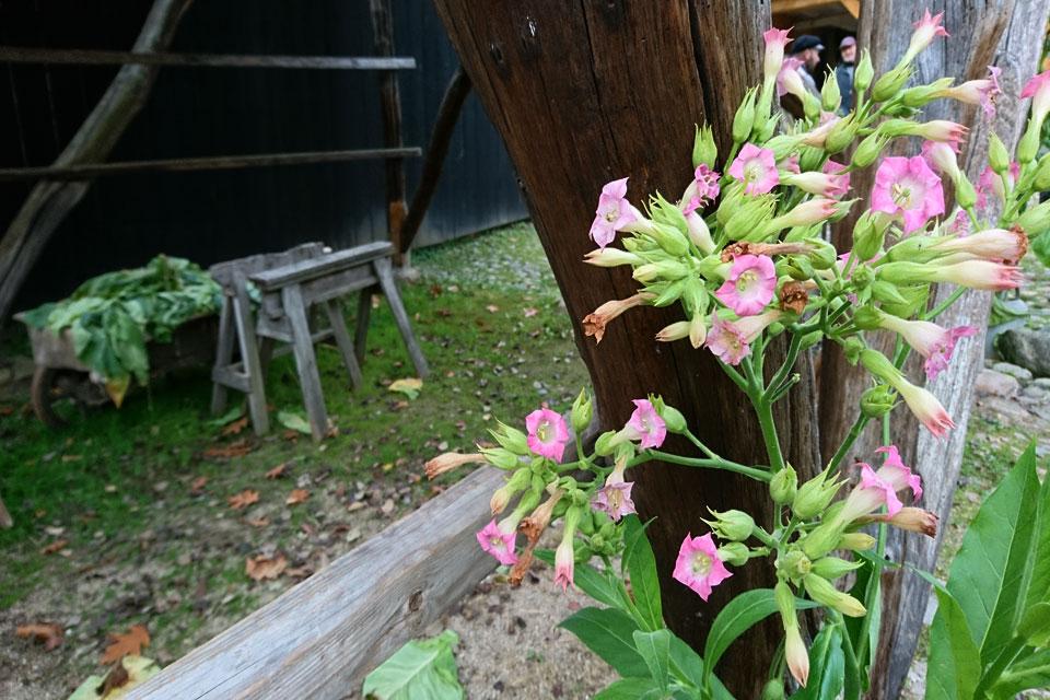 Цветущий табак виргинский (Nicotiana tabacum