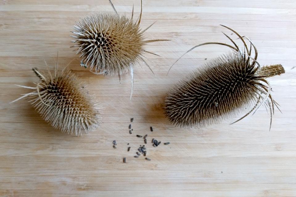 Соплодия и семена ворсянки. Фото 7 нояб. 2018, мой сад, г. Хойбьяу / Højbjerg, Дания
