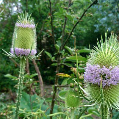 Ворсянка - семена dipsacus-fullonum-seeds 050718 min have www.florapassionis.com