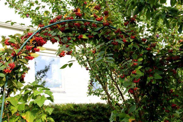 Кизильник Ватерери семена купить Cotoneaster watereri seeds 050917 www.florapassionis.com