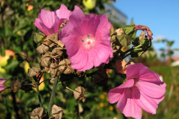 Мальва мускусная семена Malva moschata 1okt13 www.florapassionis.com