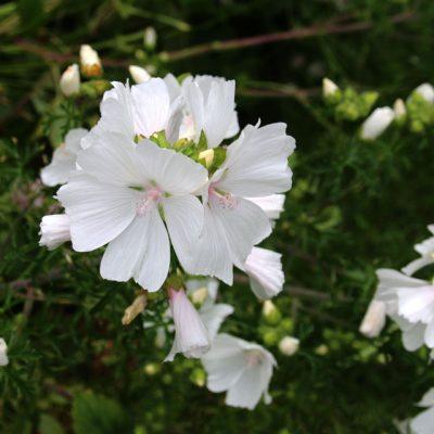 Мальва мускусная семена Malva moschata seeds 2jul14 www.florapassionis.com