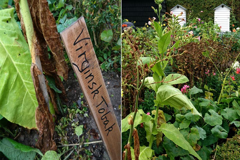Табак виргинский или настоящий (Nicotiana tabacum)