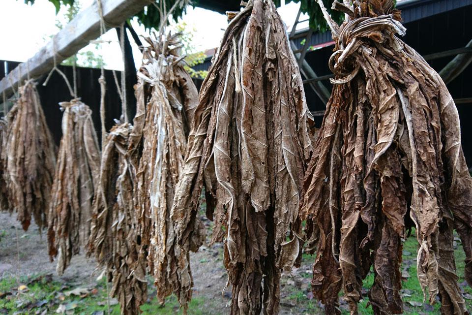 Высушенные листья табака