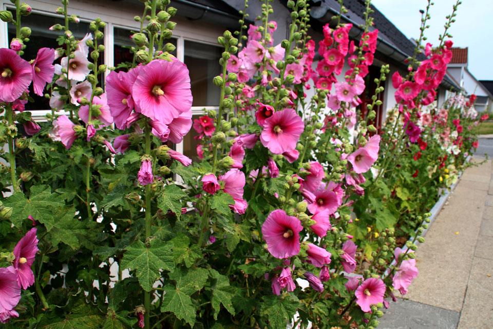 Штокроза (Alcea) - эти растения в Дании называют мальвами.