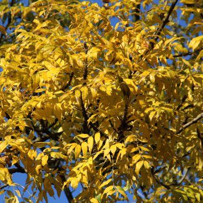 Ясень - семена Fraxinus Купить в 151018 viby www.florapassionis.com