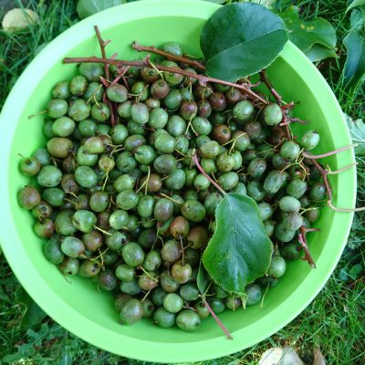 actinidia arguta Мини-киви Розовая актинидия семена 7okt18 www.florapassionis.com