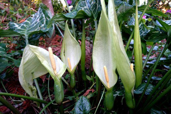 Аронник Итальянский Аронник белокрылый Arum Italicum 200518 www.florapassionis.com