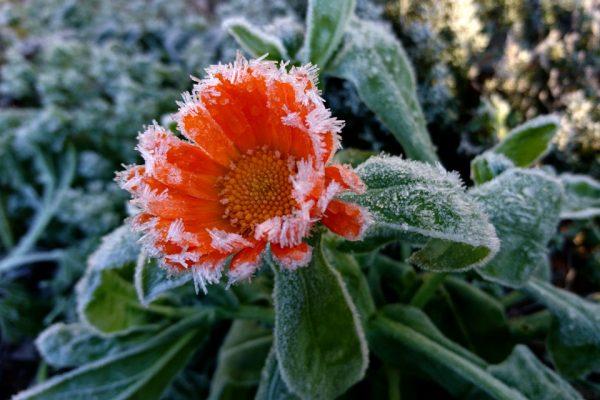 Календула лекарственная Calendula officinalis 25nov18 my garden www.florapassionis.com
