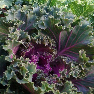 Капуста Кале Русская 230917 www.florapassionis.com