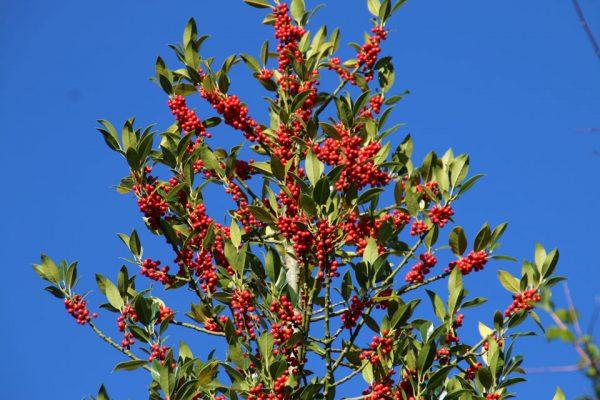 Падуб остролистный Ilex aquifolium holme 301017 www.florapassionis.com