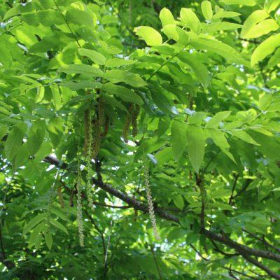 Птерокария, Лапина, или Крылоорешник Pterocarya fraxinifolia gl elstrup 23maj18 kaukasisk vingevalnød www.florapassionis.com