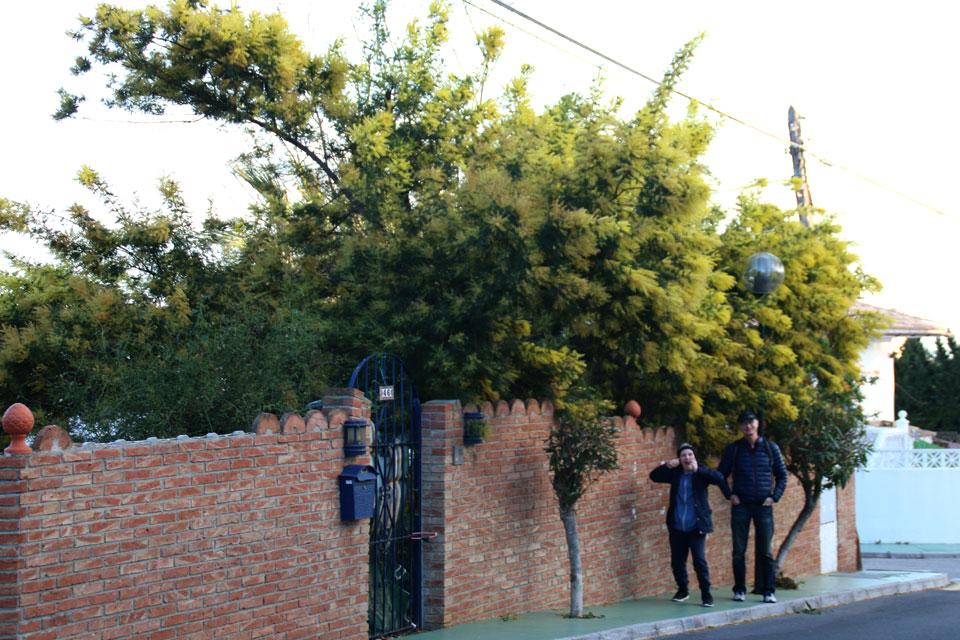 Акация серебристая (Acacia dealbata)