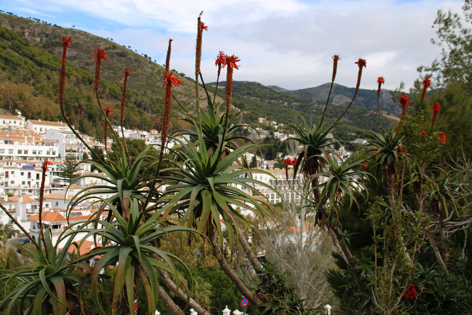 Алоэ древовидное (Aloe Arborescens)