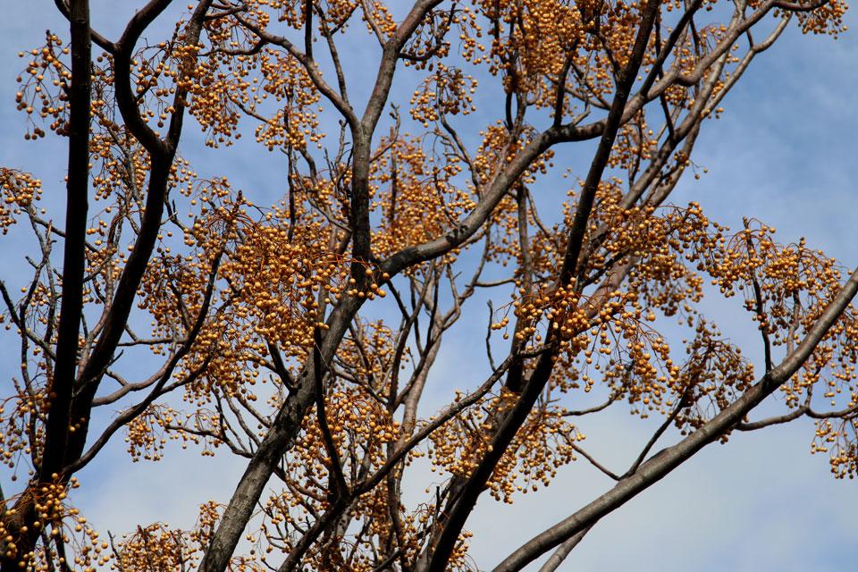 Мелия ацедарах (Melia azedarach)