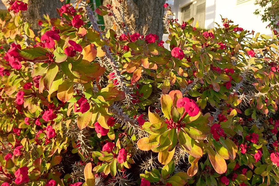 Молочай Миля Euphorbia milii