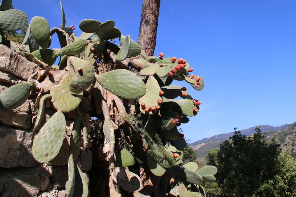 Опунция (Opuntia ficus-indica) с плодами