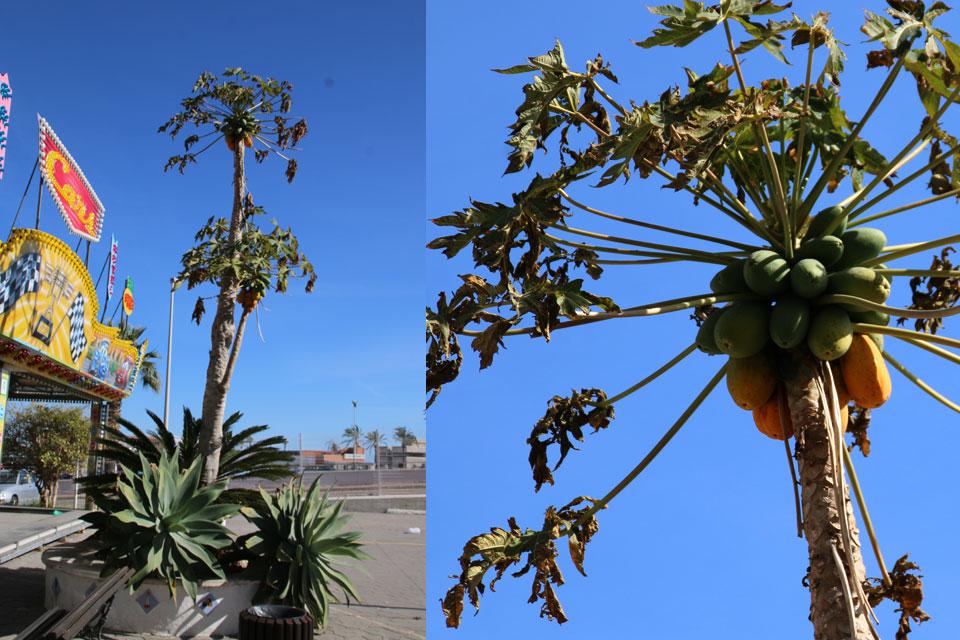 Папайя (Carica papaya) с плодами на побережье г. Фуэнхирола / Fuengirola