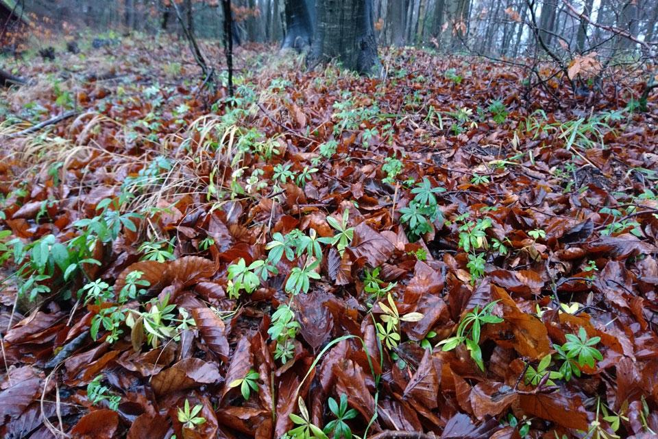 Подмаренник душистый в буковом лесу, Дания