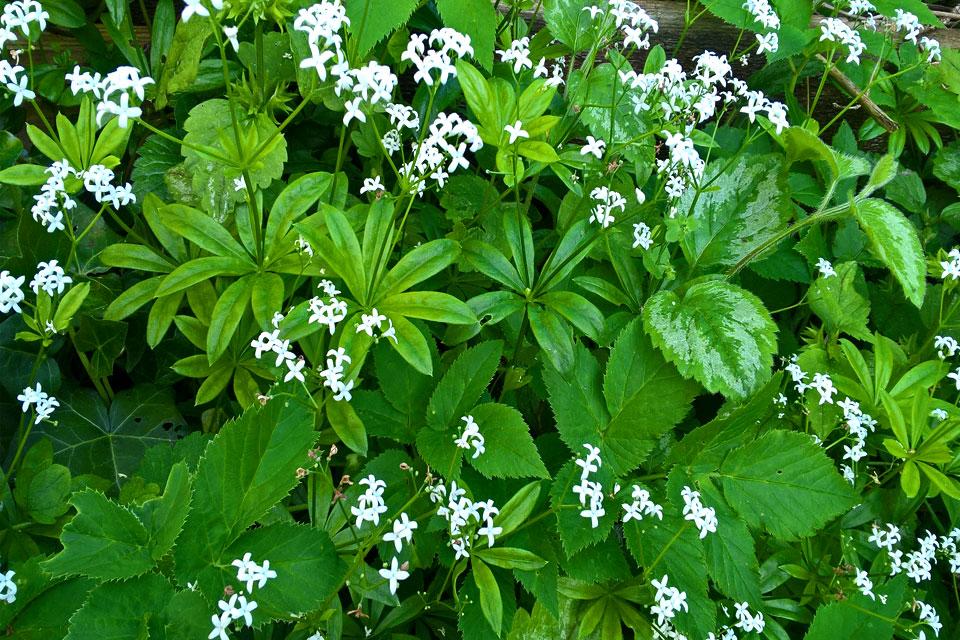Белые мелкие, воронковидные с отгибом, около 0,5 см диаметром цветки подмаренника