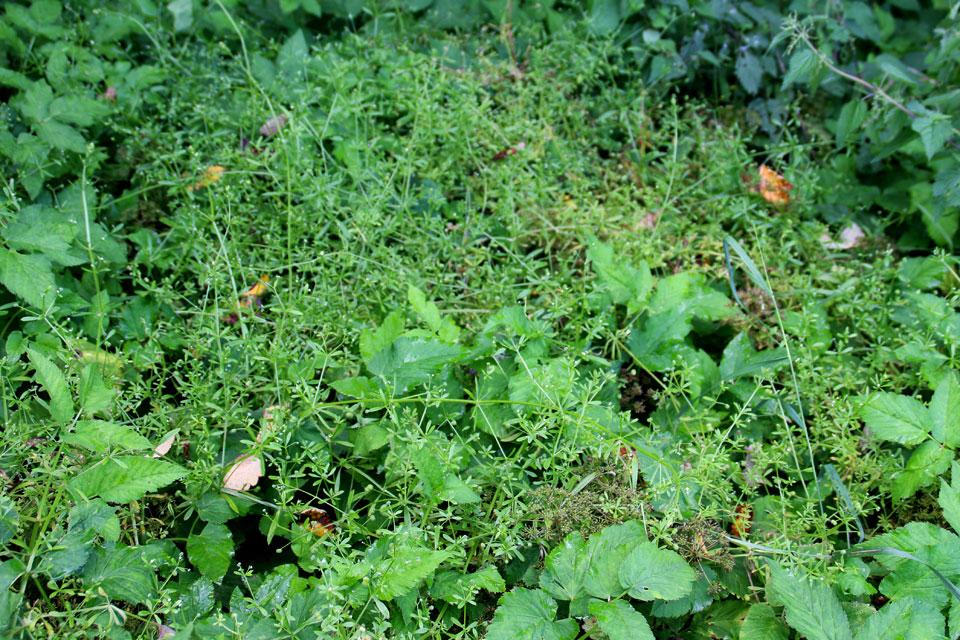 Подмаренник цепкий (Galium aparine)