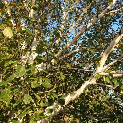 Береза гималайская Жакмонти или Береза полезная Жакмонти Betula utilis var. jacquemontii 14okt18 viby www.florapassionis.com