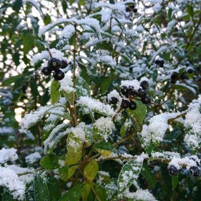 Бирючина обыкновенная Ligustrum vulgare 11dec17 my garden www.florapassionis.com