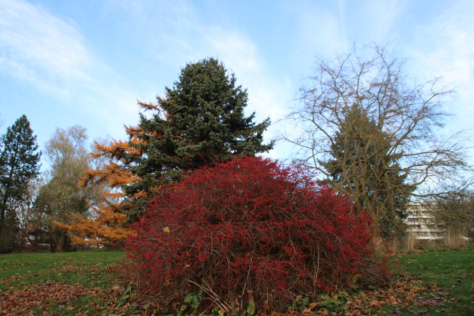 Ботанический сад г. Орхус, Дания, барбарис