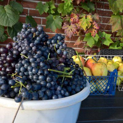 Виноград культурный, Vitis vinifera 1nov2016 my garden www.florapassionis.com