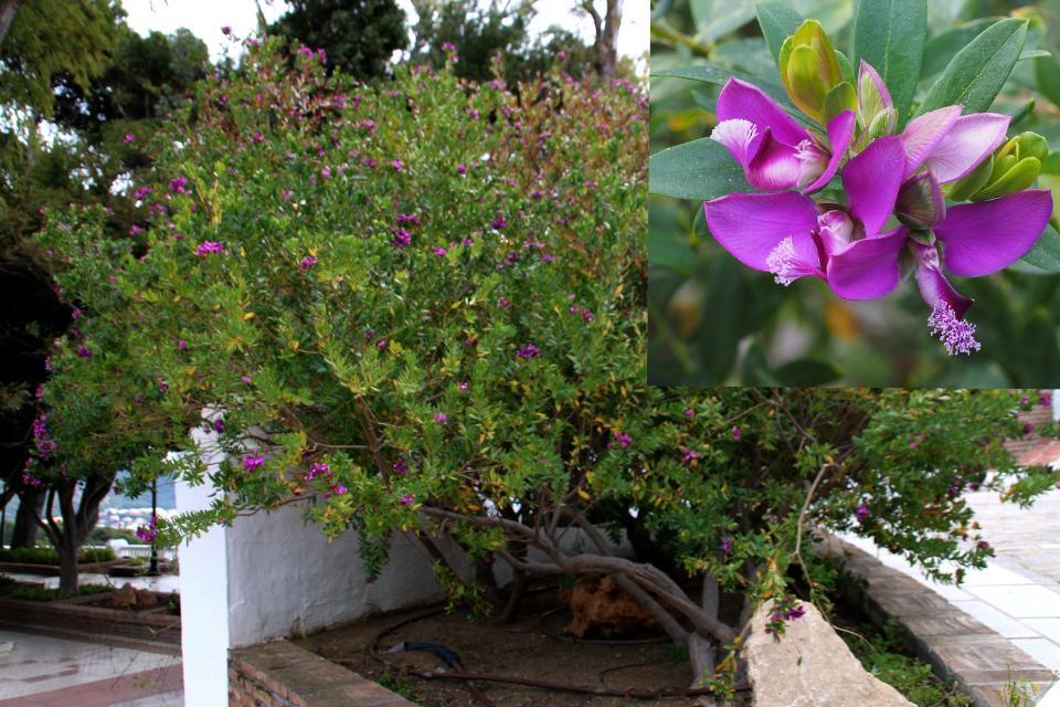 Истод миртолистный (Polygala myrtifolia), цветущий куст